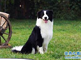 """宠物狗智商排名 """"飞盘""""边境牧羊犬是最机智和可爱的"""