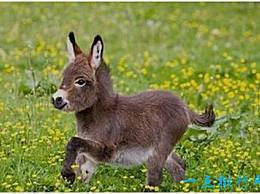 世界上最小的驴只有60厘米高 比一个2岁的孩子还矮