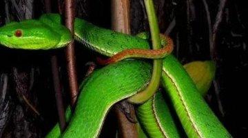 广东十大毒蛇排名 竹叶是最致命的毒蛇(最美丽和致命的)