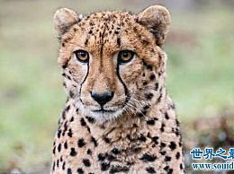 世界上跑得最快的动物 第一只猎豹跑得比人类快得多!