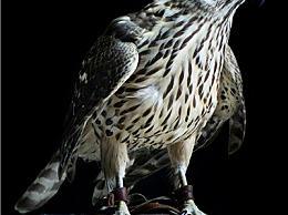 鹰可以被驯养吗?一只鹰实际上可以卖到数百万美元