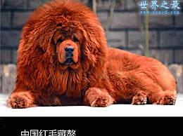 世界上最贵的狗(纯红色藏獒)