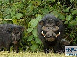 世界上最强大的猪:巨型森林猪 一上台就杀死猎豹狮子