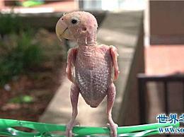 沮丧的鹦鹉在三年内拔掉了它的头发 并且因为被遗漏而遭受沮丧