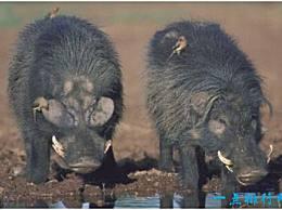 世界上最强大的猪 巨型森林猪可以直接杀死一只非洲野牛