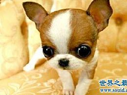 世界上最长寿的狗最多只能活到20岁!