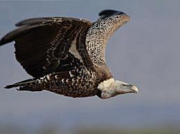 世界十大飞禽 黑白秃鹫 可达一万多米
