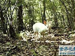 为什么珍稀动物白麂白麂在神农架频繁出现