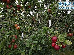 有250种果树可以种植世界上最多的品种