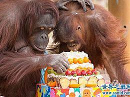 世界上最老的猩猩 62岁 和他的孙子一起抓蛋糕