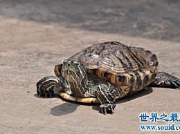 世界上最大的乌龟 巴西乌龟 但是巴西乌龟能长多大
