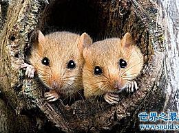 睡鼠 世界上睡觉最多的动物 在正常睡觉时会杀死大熊猫、蛇和乌龟!