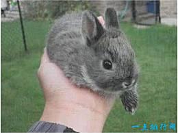 世界上最小的兔子 荷兰矮兔重2公斤 可以很容易地握在你的手心里