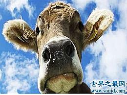 世界上最小的牛 也许奶牛也可以当宠物