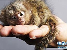 侏儒狨猴生活在亚马逊河流域 在市场上出售成千上万只