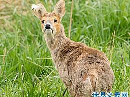 长齿吸血鬼鹿脸看起来像吸血鬼一样怪异 生命濒临灭绝!