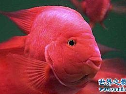 鹦鹉鱼的价格是多少?不同的品种差别很大!