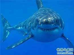 鼠鲨可以快速长到4米 英国的一些人已经捕获了400磅的鼠鲨