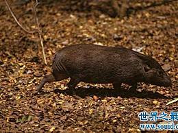 世界上最小的猪 30厘米长 世界上还有150头猪