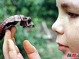 世界上最大的蟑螂 犀牛蟑螂(9厘米长/可训练)