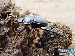 蜣螂是世界上最恶心的昆虫 被认为是第一种(专门研究粪便)