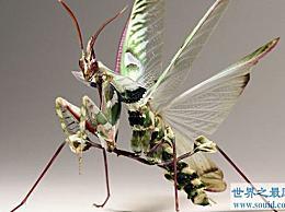 """最大的螳螂 标题为""""螳螂之王"""""""