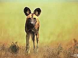 快速动物排名猎豹可以达到每小时130公里