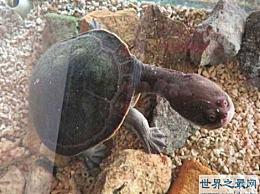 世界上脖子最长的乌龟 巨型蛇颈龟的脖子比它的身体还要长