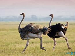 鸵鸟 世界上最大的鸟 高2.5米(重156公斤)