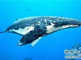 世界上最大的鲸鱼名单南露脊鲸生殖器重500公斤