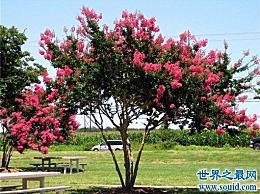 世界上最敏感的树 紫薇树(轻轻一碰它就会颤抖)