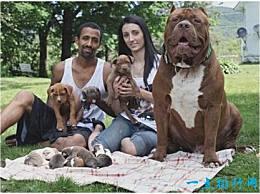 世界上最大的牛头犬比成人还高