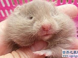 世界上最奇怪的仓鼠宠物 Xi熊的特殊其他物种不能假装