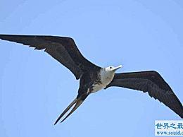 世界上飞得最快的鸟 灵活的战舰鸟
