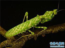 魔花螳螂外形美观 捕食能力强 雌性温顺 不杀丈夫