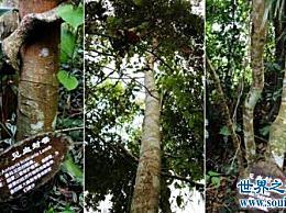 世界上最毒的树 箭毒 用血封住喉咙(它被污染后会死去)