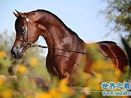 世界上最昂贵的马品种 你知道哪些品种?