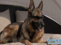 世界上最贵的狗 他们的生活条件比许多人好