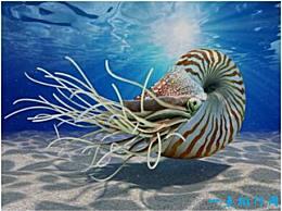 鹦鹉螺是世界上最古老的海螺 已经在地球上生活了5亿年