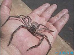 世界上最大的室内蜘蛛 白面蜘蛛 体长10厘米 是蟑螂的克星
