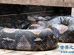 世界上最大的蛇是什么?亚马逊森食人事件发生了