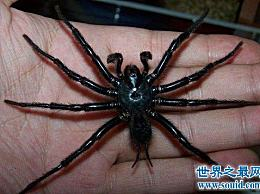 黑得像墨蜘蛛 有些人害怕 有些人喜欢它们