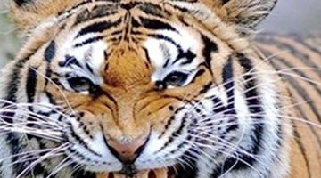 世界十大禁猫:第九只体型娇小但能变成羚羊