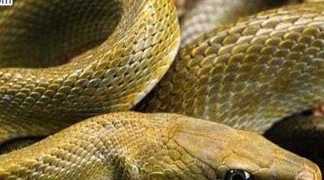 蛇的寿命有多长 世界上最长的蛇(20万条)