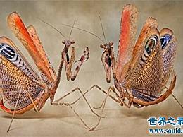 魔花螳螂是世界上最稀有的螳螂 女性外表华丽 善于伪装 不会杀死丈