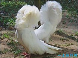 """世界上最时髦的鸟 雅各宾鸽被称为最时髦的""""女士"""""""