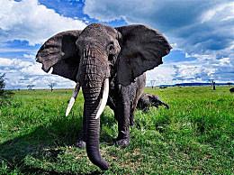现存陆地上最大的哺乳动物:非洲象(高达4米/10吨重)