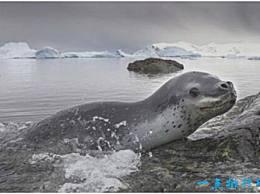 世界上最凶猛的海豹 豹海豹会捕食其他海豹