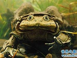 世界上最大的水蛙 喀喀湖最大的青蛙可以达到半米!