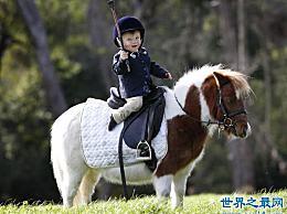 世界上最矮的马 成年迷你马只有80厘米